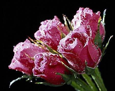 گالری گل رز